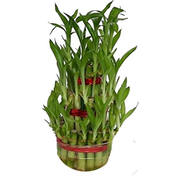 Buy Lucky bamboo Big