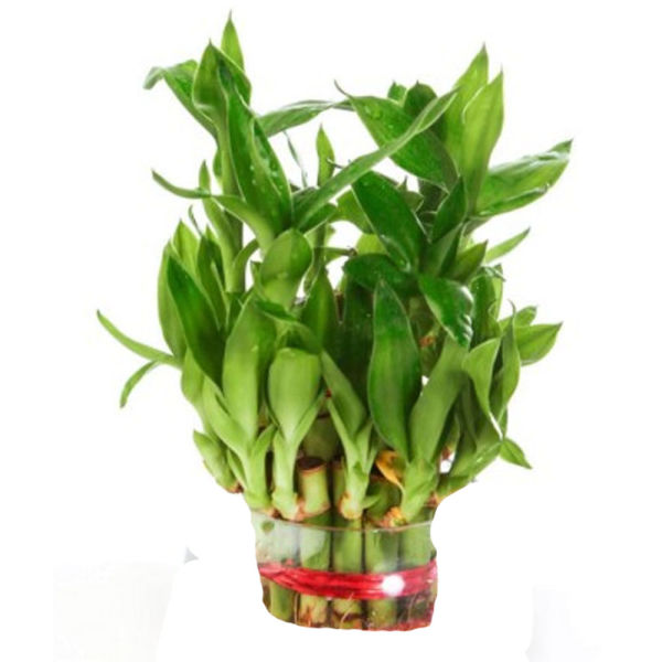 Buy Lucky bamboo Small