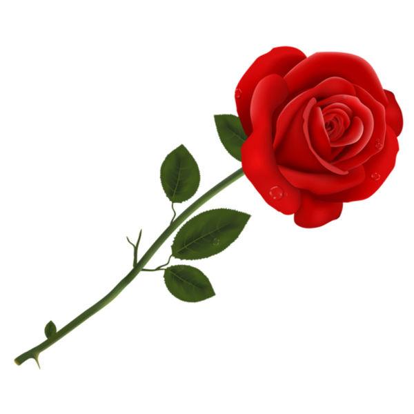 1 Single Rose   Winni.in