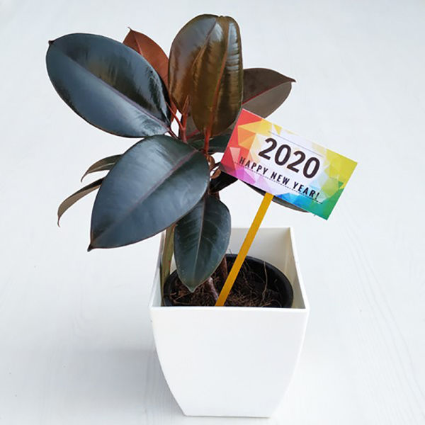 Buy New Year Rubber Plant