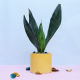 Buy Refreshing Snake Plant