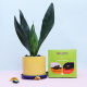 Buy Exotic Snake Plant & Chocolate combo