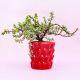 Buy Exotic Jade Plant In Red Pot