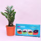 Buy Classic potted Zeze Plant & Chocolate Combo