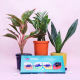 Buy Beautiful Plant Set with Chocolate