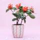 Buy Flowery Ixora Plant