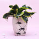 Buy Beautiful Potted Snake Plant