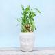 Buy Bamboo Plant In Buddha Pot
