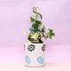 Buy Fantastic Senecio Macroglossus Plants